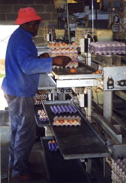 Bàn thu trứng tại điểm cuối băng tải