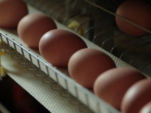 Băng thu trứng ở chuồng
